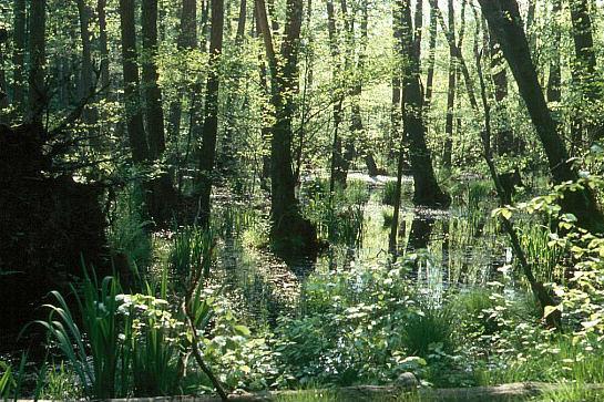 Geschützte naturnahe Bruch-, Sumpf- und Auwälder: Erlenbruchwald bei Bansin auf Usedom  (H. Karl)