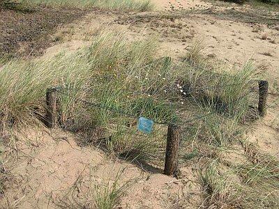 Wiederansiedlung der Sand-Silberscharte Jurinea cyanoides (N. Meyer)