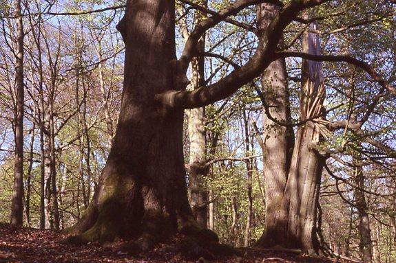 Naturschtzgebiet Großes Holz bei Wilsen (H. Karl)