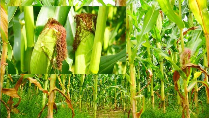 Mais wird als ganze Pflanze beprobt und analysiert