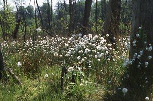 Wollgrasblüte im FFH-Gebiet Schlemminer Wälder (H. Karl)